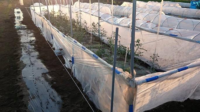ミニトマト栽培。苗の定植、トンネル外しのタイミング