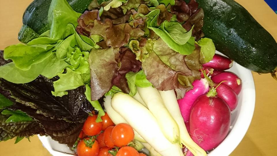 リーフレタス・ズッキーニ収穫ほか。ミニトマトの水やり頻度・・・