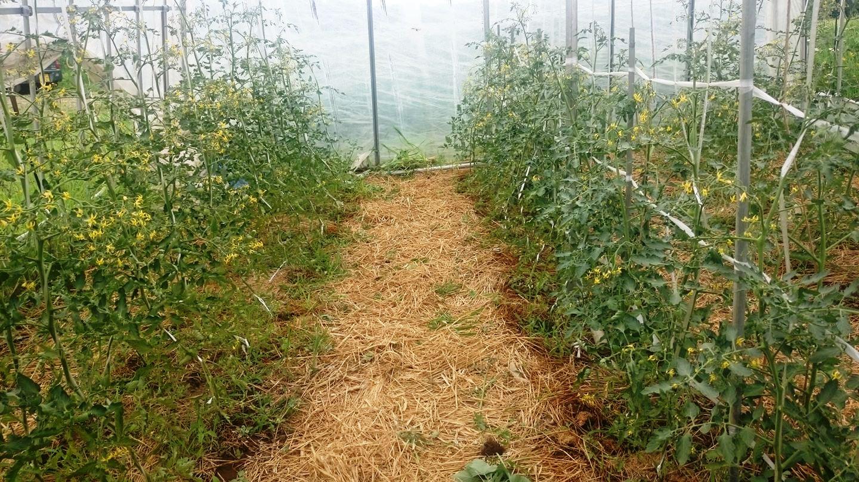 ミニトマトの水やりが結果に影響~その他の栽培状況も