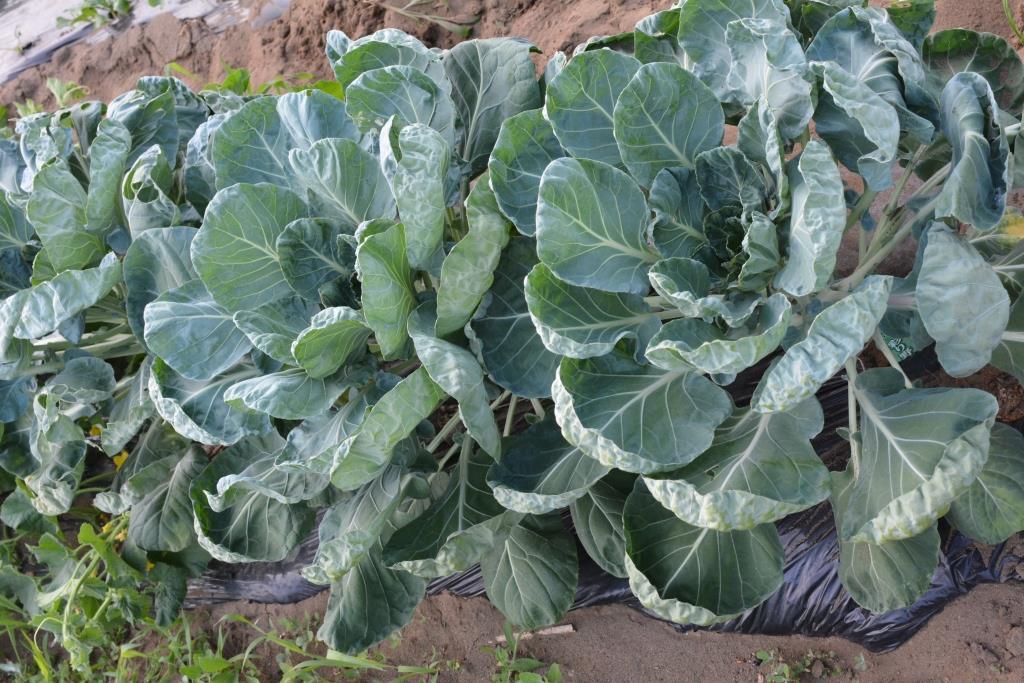 7月15日。今日の菜園はキュウリやさやえんどうが豊作